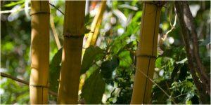 Bambu Kuning - Cara Menolak Santet