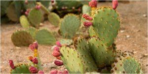 Kaktus - Cara Menolak Santet
